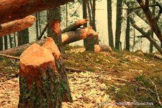 The #beaver   (genus Castor)   #petkeljärvi   #nationalpark   #finland