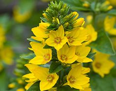 Lysimachia punctata plants from Thompson & Morgan - experts in the garden since 1855 Planting Seeds, Planting Flowers, Flower Gardening, Prairie Meadows, Biennial Plants, Corner Plant, Cottage Garden Plants, Old Cottage, Hardy Perennials