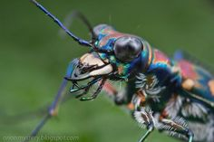 "Tiger! ...""love these beetles; they are so fast, carniverous, and beautiful!"