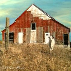 Barn & Cow. Located in Highlandville, Mo ©AReese2015