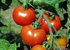 Tajemství úspěšného pěstování rajčat