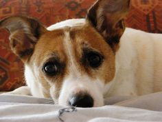 Facts about #Jack Russell Terrier