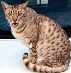 Top 10 Fluffy Cat Breeds List [+Parenting Simplified Tips] Cat Breeds List, Fluffy Cat Breeds, Different Breeds Of Cats, Domestic Cat Breeds, Cats And Kittens, Tabby Cats, Ocicat, Spotted Cat, Kitten Photos