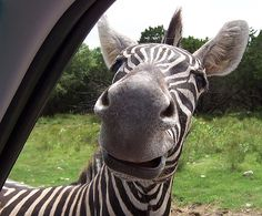 Funny Zebra Pictures - http://ebooks2buy.biz/photojobs - Make Money With Your Pictures World Wide