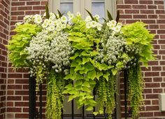 Chartreuse and white combo. The key to healthy looking plants is to ensure the window box is not too small. Bigger is better so the roots have room to grow and there is still plenty of soil to hold moisture. Gorgeous window box!