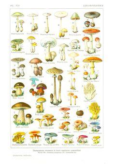 Champignons-Larousse-Medica.jpg 1.400×2.002 pixels