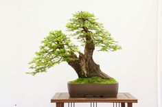 Bonsai Versions of the World's Tallest Tree. Coast Redwood (Sequoia sempervirens)