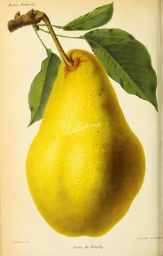 Pear - high resolution image from old book. Plant Illustration, Botanical Illustration, Old Book Pages, Art Clipart, Picture Collection, Scrapbook Paper Crafts, Botany, Wall Collage, Flora