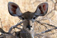 Female Kudu Antelope - Kruger National Park, S.A.