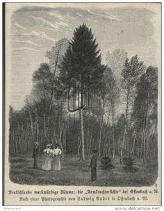 Die Armleuchterfichte bei Offenbach a.M. /  Druck, entnommen aus Zeitschrift / 1896