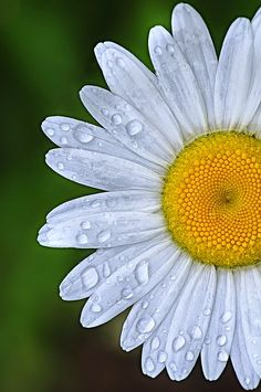Daisy - I have many in my garden
