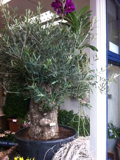 Bonsai olive tree. Over 100 years old