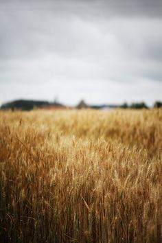 golden field ready to be harvested