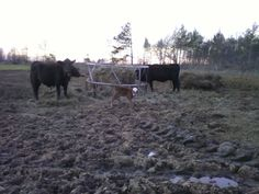 Another new calf on 2/23/2012
