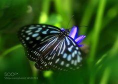butterfly by ShinichiSaeki. @go4fotos