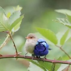 One of my most popular video clips of the Splendid Fairy-wrens. I thought you msu enjoy again. Cute Birds, Pretty Birds, Beautiful Birds, Beautiful Pictures, Exotic Birds, Colorful Birds, Nature Animals, Animals And Pets, Nicolas Vanier
