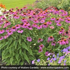 More Flowers Than Any Other Coneflower We've Ever Seen! Easy Care Native Species Long Lasting Flowers Perfect in Sunny Borders and Pots Where to start singing the praises of PowWow® Wild Berry Coneflower (Echinacea purpurea We Magenta Flowers, Purple Daisy, Perrenial Flowers, Minnesota Landscaping, American Meadows, Short Plants, Buy Seeds, Bottle Garden, Wildflower Seeds