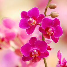 <i>Phalaenopsis</i> - Amazingly Easy Orchid Variteies - Sunset