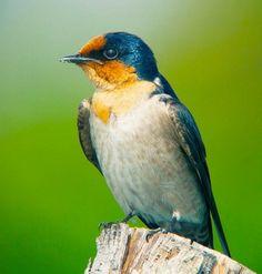 Pacific Swallow | Pacific Swallow Hirundo tahitica javanica