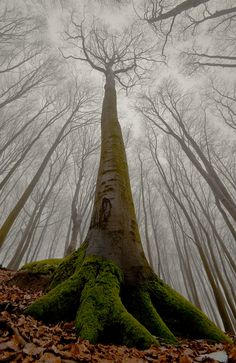 The beech with human face. by Leszek Paradowski