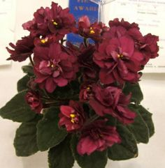 Jolly Texan- Fully double burgundy red.  Dark, red-backed, pointed, quilted foliage.  Semiminiature.  (Pittman)  AVSA #9721
