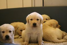 yellow lab puppy - Google Search