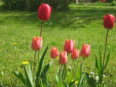 lovely red tulips as always