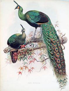 Daniel Giraud Elliot Pavomuticus 1872 by Art  Vintage on Flickr. The Green Peafowl, Pavo muticus