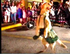 BESTEST DANCING DOG EVER!   I can't believe I never saw this amazing dog before. But her video has over 17 million views so this dancing phenom is getting her day in the spotlight. It's obvious she loves doing this, the joy she shows twirling and prancing. Doesn't look like some trained dogs just going through the motions. She has the biggest smile and just relishes her turn as the belle of the ball. This clip is over two minutes long and she's dancing on two legs almost the whole time…