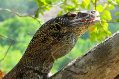 A juvenile komodo dragon sits on a tree limb in the sun. This image is from Dangerous Encounters with Brady Barr.