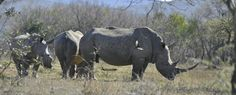 Bautiful rhino Rhinos, South Africa, Animals, Animales, Animaux, Rhinoceros, Animal, Animais