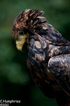 Lavenham Falconry: Bateleur Eagle (by —CWH—) (cb: the national bird of Zimbabwe)