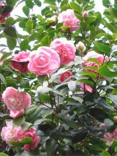 camellia japonica - Google Zoeken Conservatory Plants, Camellia Japonica, Back Garden Design, Green Garden, Landscaping Plants, Back Gardens, Clematis, Garden Inspiration, Landscape