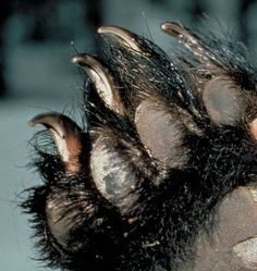 Paws Up Black Bear | All You Need To Know About Bears | Bear Facts