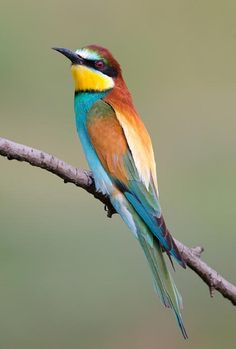 European Bee-eater. One of my favourite birds.
