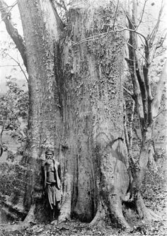 Oude djati-bomen, Bodjonegoro, Midden Java 1900-1940 (globaal)