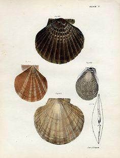 Scallop Shells - De Kay Crustaceans Prints 1843