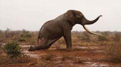 Elephant-bull-David-Sheldrick