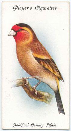 Goldfinch-Canary Mule. (ca. 1903-1917)