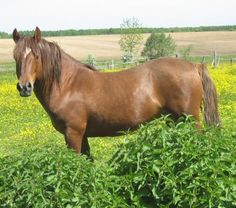 Poney Landais -Landais pony.The Landais is an old breed, originally from the Landes region of southwestern France and probably influenced by Arabian or English blood. Some Arabian blood is thought to have been added around the time of the first Battle of Poitiers (AD 732) and probably again in the early 1900s. Img: NUTTEA DES BOIS Etalon Landais