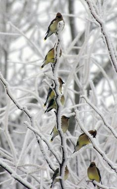 Winter | birds on snow-covered tree branches