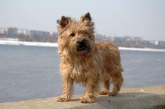 Grooming Your Cairn Terrier