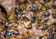 Producción y manejo de abejas meliponas