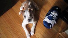 Teneri cuccioli Notizie: Ecco perché i pitbull sono cani meravigliosi/VIDEO...
