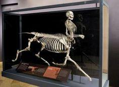 Centaur-skeleton-takes-science-center-stage-F3R9BL5-x-large
