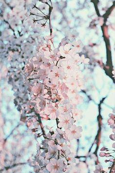 ☾☼MistressBarbie☼☽ Flower Wallpaper, Love Flowers, Beautiful Flowers, Pretty Pictures, Cherry Blossoms In Japan, Cherry Blossom Japan, Cherry Blossom Background, Cherry Blossom Wallpaper, Japan Sakura