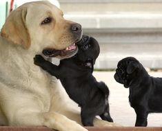 Pugs & Labrador