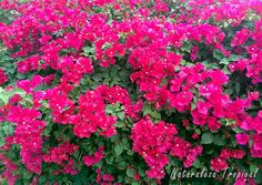 Floración maravillosa de una Buganvilla o Flor de papel, género Bougainvillea