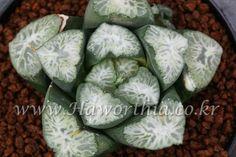 Haworthia maughanii HANABISHI Very Rare  plant  cactus succulent agave caudex