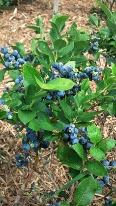 Blueberries from the bush are like candy! Do you know that you can grow Blueberries in a container?